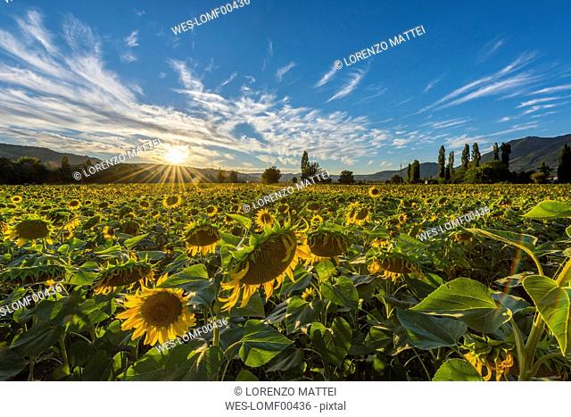 Italy, Umbria, sunflower field in the evening twilight