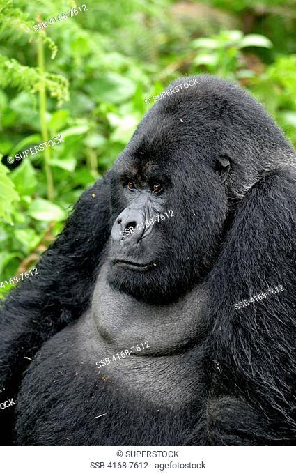 Rwanda, Volcano National Park, Mountain Gorilla Gorilla Gorilla Beringei, Silverback Portrait