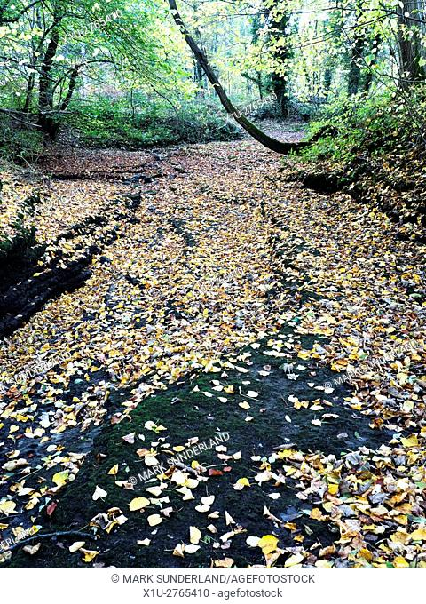 Autumn Leaves on the Dry Riverbed of the River Skell in Chinese Wood near Studley Royal Ripon Yorkshire England