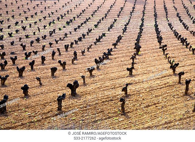 Vineyard in Belmonte de Tajo. Madrid. Spain