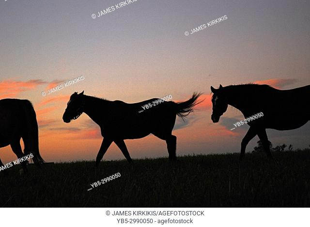 Thoroughbred Horses Roam the countryside of Kentucky's Blue Grass Region at Sunrise