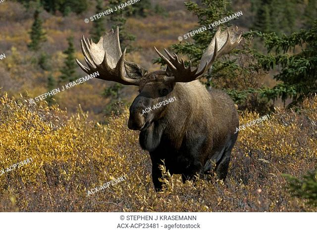 Bull moose Alces alces standing in tundra habitat of willow and dwarf birch vegetation in ,ate summer. Denali National Park, Alaska, USA