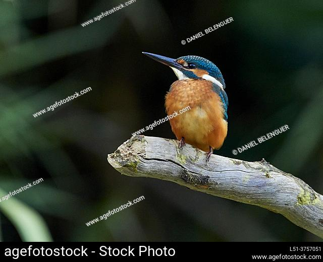Kingfisher (Alcedo Atthis) perching on a pond, Villahermosa river, Ludiente, Castellón, Spain