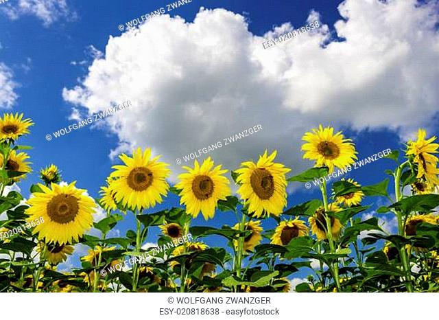 Field of sunflowers in summer