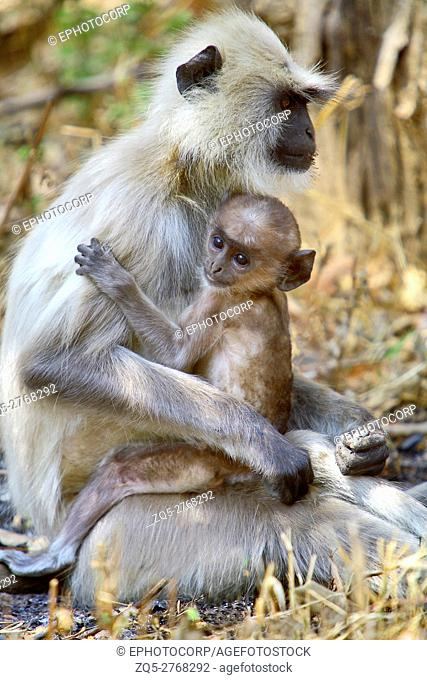 A Grey Langur (Semnopithecus entellus) Mother holding a young one at Kanha National Park, Madhya Pradesh India