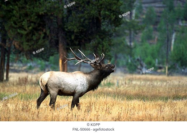 Red deer Cervus elaphus howling in field, Banff National park, Alberta, Canada