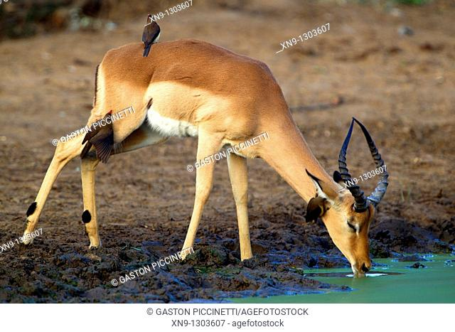 Impala Aepyceros melampus - Male, in the waterhole, Kruger National Park, South Africa