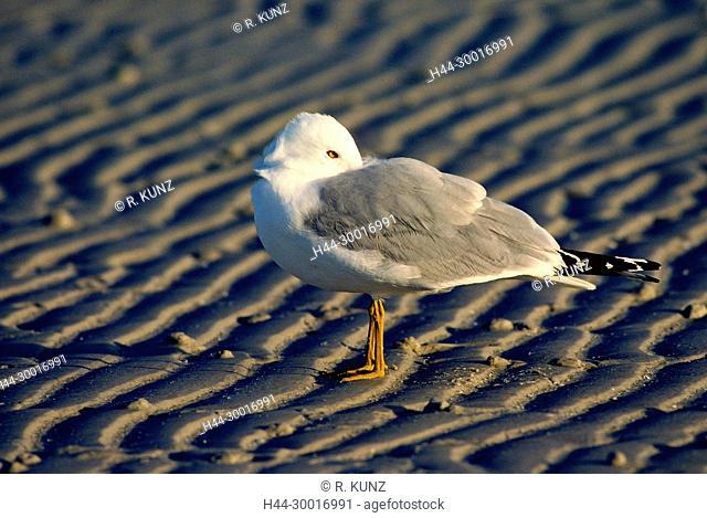 Ring-billed Gull, Larus delawarensis, Laridae, adult, Gull, bird, animal, sandy beach, Fort Myers Beach, Florida, USA