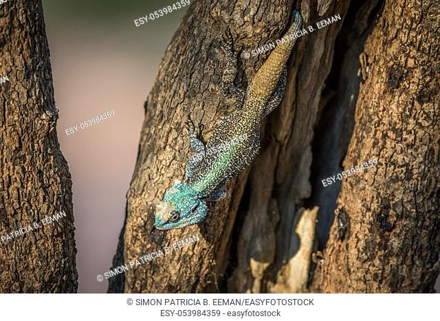 Southern tree agama in a tree in the Marakele National Park, South Africa