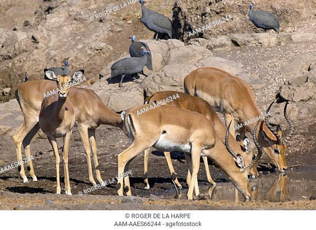 Impala (Aepyceros melampus melampus) drinking. Northern Tuli Game Reserve. Botswana