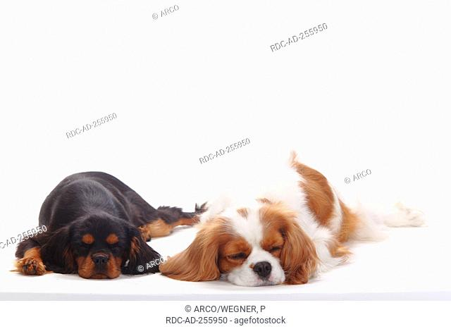 Cavalier King Charles Spaniel blenheim and puppy black-and-tan 4 months