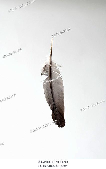 Single feather, studio shot