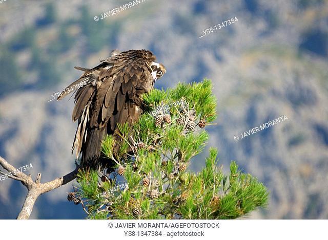 Spain, Balearic Islands, Mallorca, black vulture plumage preening