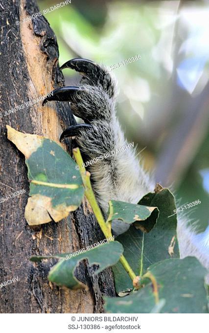 paw of a Koala - Phascolarctos cinereus