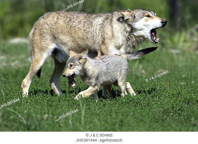 Gray Wolf Timber Wolf Canis lupus North America