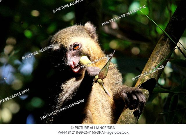26 August 2018, Madagascar, -: An endangered golden bamboo lemur (Hapalemur aureus) sits in a bamboo plant in the Ranomafana National Park in southeast...