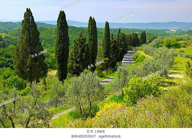 Italian cypress (Cupressus sempervirens), country road lined by cypress trees through forest and meadow landscape, Italy, Tuscany, Siena