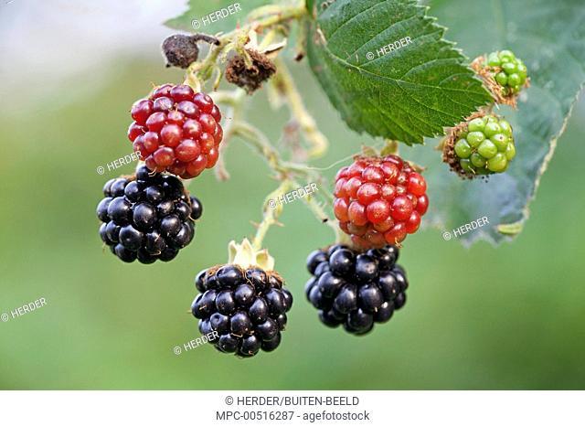 Shrubby Blackberry (Rubus fruticosus) ripe and unripe fruits, Nijmegen, Netherlands