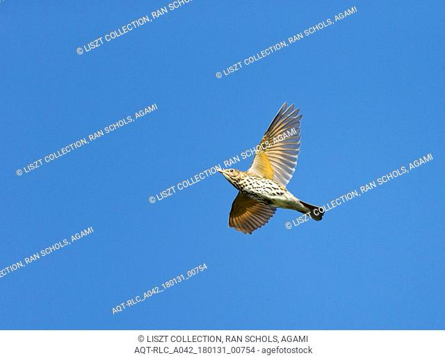 migrating Song Thrush against blue sky, Song Thrush, Turdus philomelos