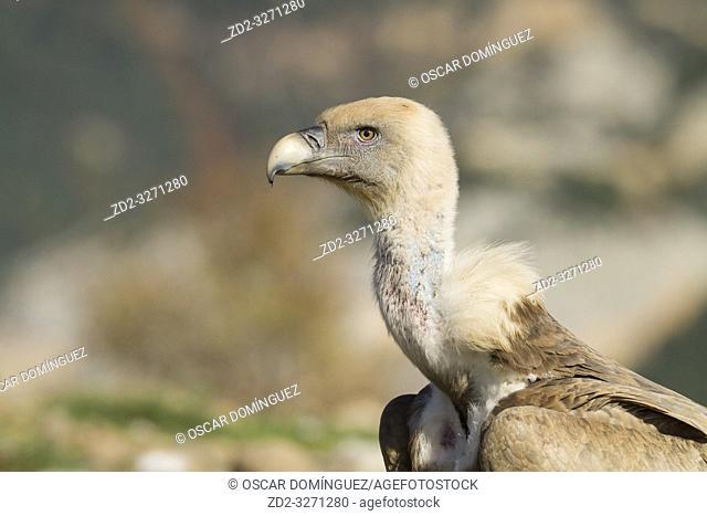 Griffon Vulture (Gyps fulvus) head portrait. Lleida province. Catalonia. Spain