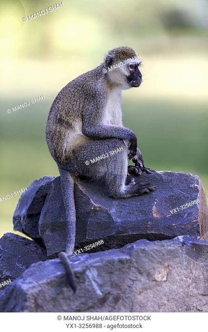 Vervet monkey sitting on stones in Great Rift Valley, Kenya