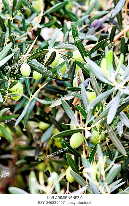 Green olive tree detail at Mediterranean seaside, Greece