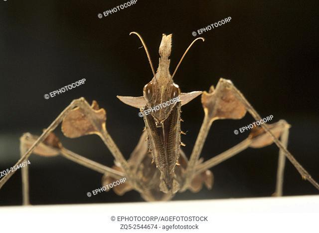 Wandering violin mantis. Gongylus gongylodes, NCBS, Bangalore, India