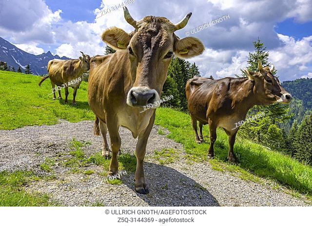 Cows with properly attached ear tags graze on a mountain meadow in the Swiss Alps near Urnäsch and Schwägalp, Canton Appenzell Ausserrhoden, Switzerland