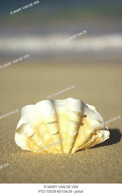 Frilly white, yellow and orange clam shell upright on beach, blurred ocean in background