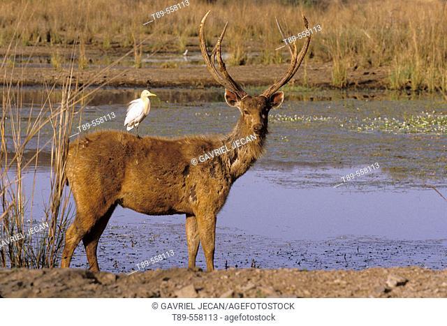 India Khanah National Park, Barasinga deer (cervus duvaucelli) with cattle Egret
