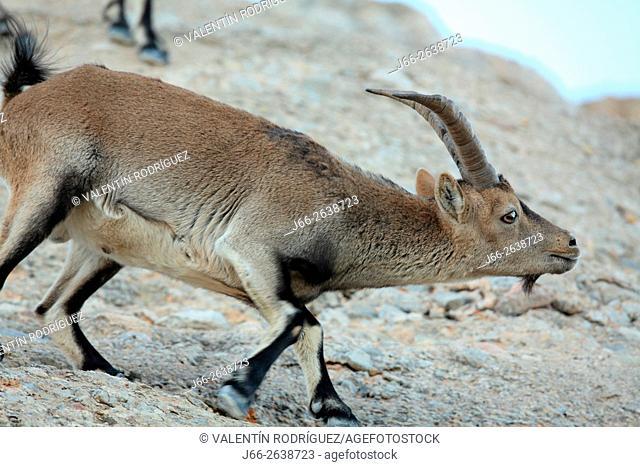 Ibex (Capra pyrenaica) in the natural park of Els Ports. . Male specimen scenting a female. Tarragona