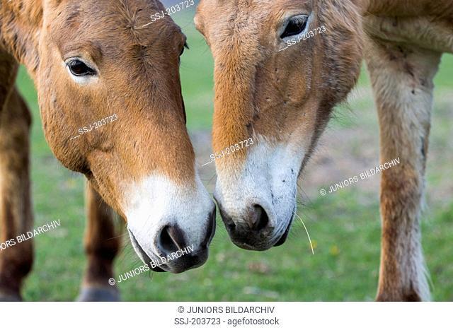 Przewalskis Horse, Mongolian Wild Horse (Equus ferus przewalskii). Two adults, nostril to nostril. Lake Neusiedl, Austria