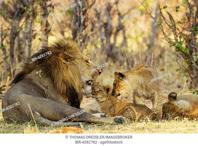 Lion (Panthera leo), family, male, cub, older male cub and female, resting, Savuti, Chobe National Park, Botswana