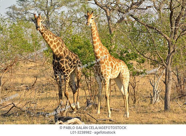 South African giraffe (Giraffa giraffa giraffa). Kruger National Park, South Africa