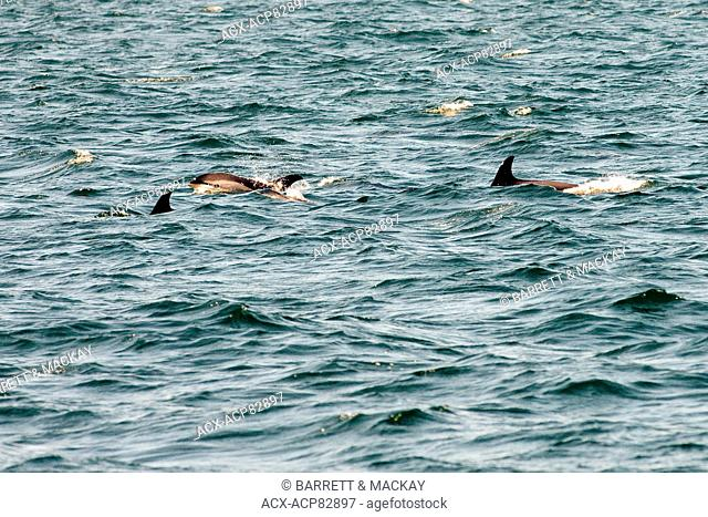 White-sided Dolphins, (Lagenorhynchus obliquidens), off Grand Manan Island, Bay of Fundy, New Brunswick, Canada