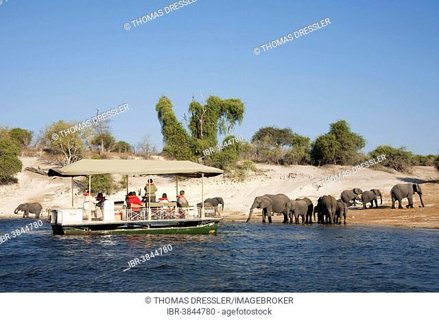 Tourists on a boat cruise on the Chobe River observe a breeding herd of African Elephants (Loxodonta africana) drinking at the river bank, Chobe National Park
