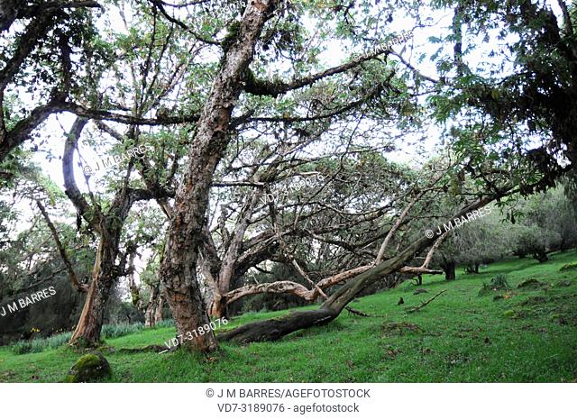 African redwood or African rosewood (Hagenia abyssinica) is a medicinal tree native to central and eastern Africa mountains