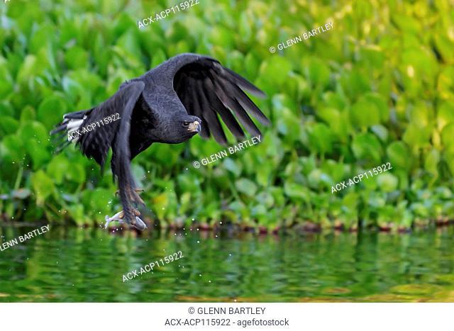 Great Black Hawk (Buteogallus urubitinga) flying in the Pantanal region of Brazil
