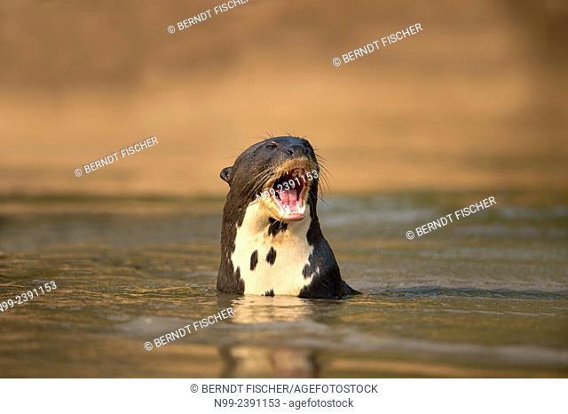 Giant otter (Pteronura brasiliensis), swimming in water. aggressive behaviour, Pantanal, Mato Grosso, Brazil