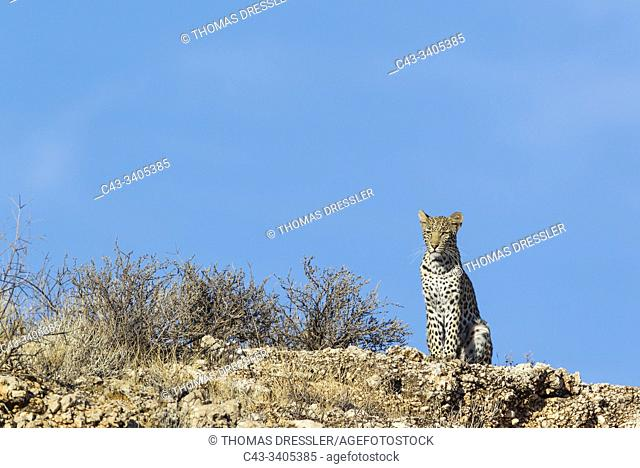 Leopard (Panthera pardus). Young female. Observing her surroundings from a rocky ridge. Kalahari Desert, Kgalagadi Transfrontier Park, South Africa