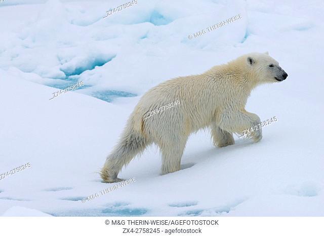 Polar bear cub (Ursus maritimus) walking on a melting ice floe, Spitsbergen Island, Svalbard archipelago, Norway, Europe
