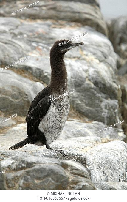 Juvenile Antarctic Shag Phalacrocorax atriceps bransfieldensis on Petermann Island near the Antarctic Peninsula. This is the only blue-eyed shag species that...