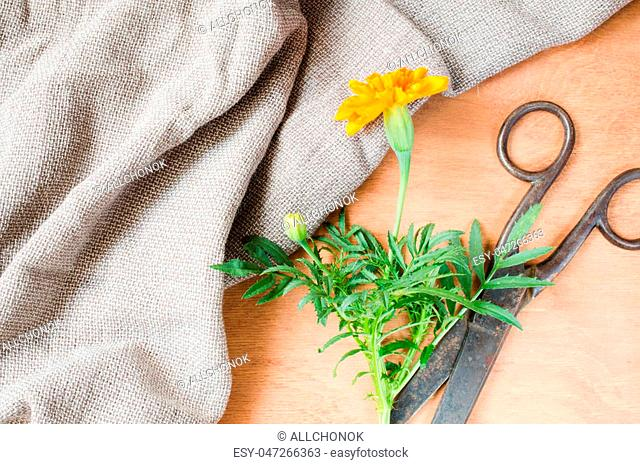 Old vintage scissors, marigold flower and a burlap on wooden background, selective focus, rustic style