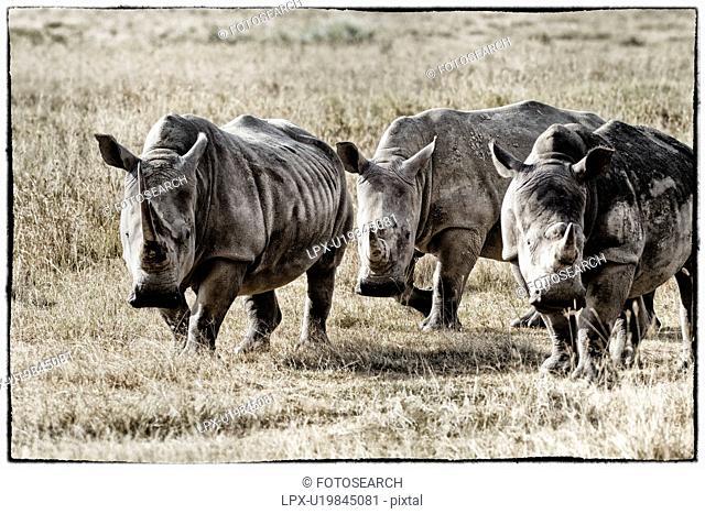Three white rhino: standing and grazing close up and detail, stylised monochrome, Lake Nakuru, Kenya