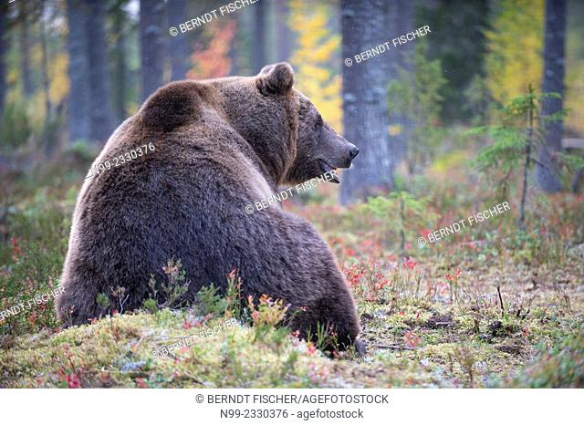 Brown Bear (Ursos arctos), in boreal pinewood in autumn, Finland