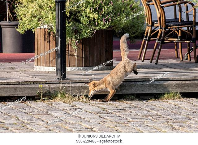 Red Fox (Vulpes vulpes) hunting a Wild Rabbit on the terrace of a restaurant. Berlin, Germany