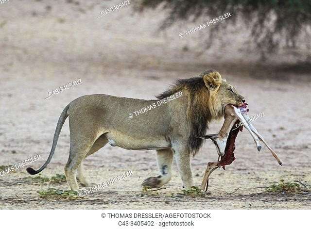 Lion (Panthera leo). Black-maned Kalahari male has captured the remains of a sprinbok (Antidorcas marsupialis) from a cheetah kill