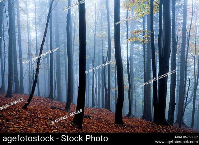 Autumn forest in the Small Fatra, Mala Fatra, Carpathians, Slovakia, Europe