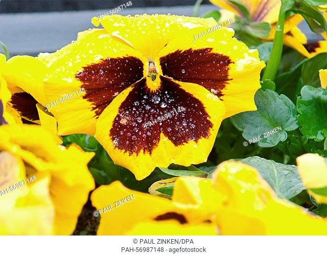 Raindrops on a pansy in Berlin, 26 March 2015. The weather is currently cool and wet in the capital. PHOTO: PAUL ZINKEN/dpa | usage worldwide