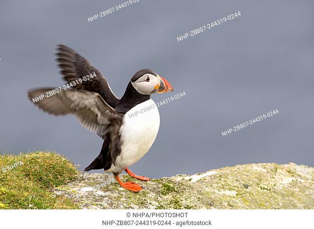 Puffin; Fratercula arctica; Hermaness; Unst; shetland; UK
